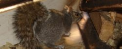 Stop Squirrel Infestation In Your House: Hire Squirrel Removal Brampton
