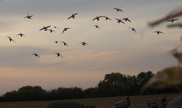 Check Out How To Hunt Ducks